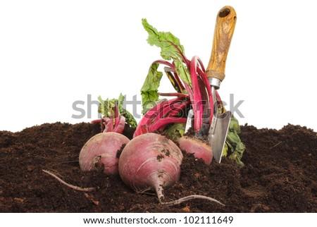 Freshly dug beetroot in soil with a garden trowel