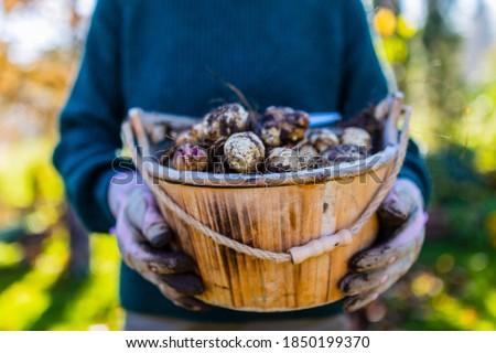 Freshly dug Jerusalem artichoke tubers kept in a basket. Foto stock ©
