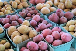 Freshly dug, new crop potatoes for sale at farmers market