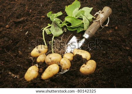 Freshly dug new potatoes with roots and foliage in soil with a garden trowel