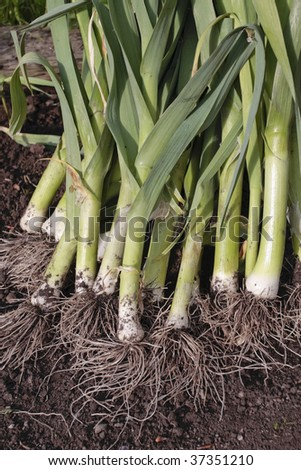 Freshly dug out leeks closeup