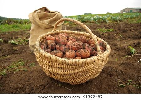 Freshly dug potatoes in a basket and burlap bag