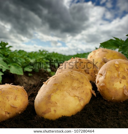 Freshly dug potatoes on a field with dramatic sky