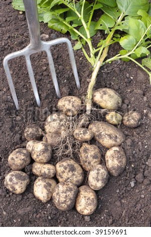 Freshly dug potatoes on basket