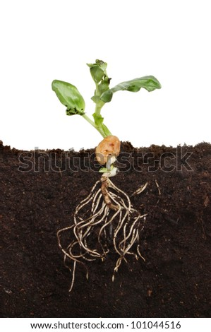 Freshly germinated broad bean seedling in soil showing root structure and new leaves