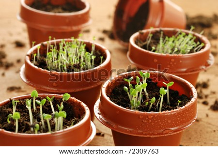 Freshly germinated herb seedlings in tiny 2 inch starter pots with water droplets.  Macro with shallow dof.