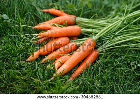 Freshly harvested and washed carrots drying on a green grass. Locavore movement, local farming, harvesting concept