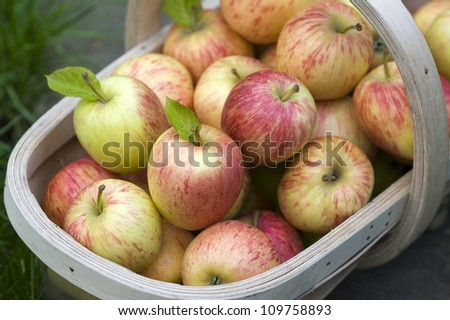 freshly harvested apples gathered in a wooden trug