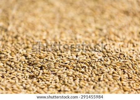 Freshly harvested barley beans - close up of grains of malt. Barley on background. Concept of food and agriculture. Shallow depth of field.