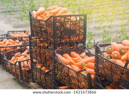 Freshly harvested carrots in boxes. Eco friendly vegetables ready for sale. Summer harvest. Harvesting. Agriculture. Farming. Agro-industry. Organic, bio carrot. Seasonal work. Ukraine, Kherson region #1421673866
