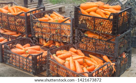 Freshly harvested carrots in boxes. Eco friendly vegetables ready for sale. Summer harvest. Agriculture. Farming. Agro-industry. Organic, bio carrot. Harvesting. Ukraine Kherson region. #1421673872