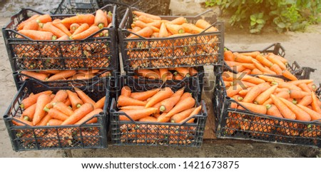 Freshly harvested carrots in boxes. Eco friendly vegetables ready for sale. Summer harvest. Harvesting. Agriculture. Farming. Agro-industry. Organic, bio carrot. Seasonal work. Ukraine, Kherson region #1421673875
