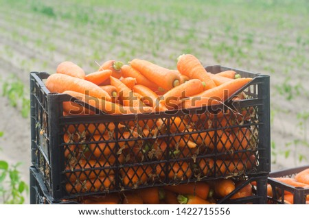 Freshly harvested carrots in boxes. Eco friendly vegetables ready for sale. Summer harvest. Agriculture. Farming. Agro-industry. Organic, bio carrot. Harvesting. Ukraine Kherson region. #1422715556