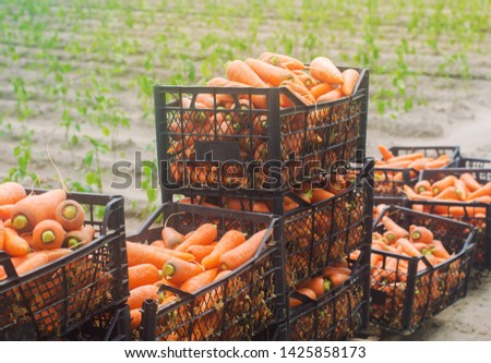 Freshly harvested carrots in boxes. Eco friendly vegetables ready for sale. Summer harvest. Harvesting. Agriculture. Farming. Agro-industry. Organic, bio. Seasonal work. Ukraine, Kherson region #1425858173