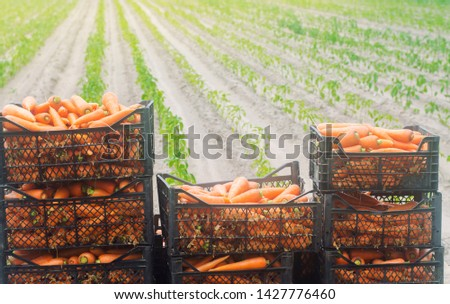 Freshly harvested carrots in boxes. Eco friendly vegetables ready for sale. Summer harvest. Agriculture. Farming. Agro-industry. Organic, bio carrot. Harvesting. Ukraine Kherson region. #1427776460