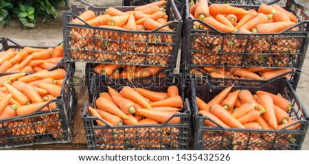 Freshly harvested carrots in boxes. Eco friendly vegetables ready for sale. Summer harvest. Harvesting. Agriculture. Farming. Agro-industry. Organic, bio carrot. Seasonal work. Ukraine, Kherson region #1435432526