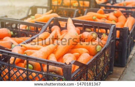 Freshly harvested carrots in boxes. Eco friendly vegetables ready for sale. Summer harvest. Agriculture. Farming. Agro-industry. Organic, bio carrot. Harvesting. Ukraine Kherson region.