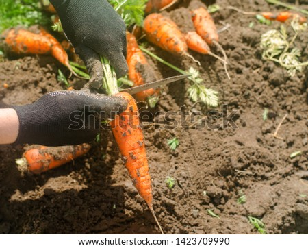 Freshly harvested carrots in the hands of a farmer on the field. Growing eco-friendly products. Agriculture and farming. Seasonal work. Organic vegetables. Ukraine, Kherson region. Selective focus #1423709990