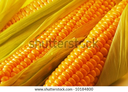 Freshly harvested corn, close up.