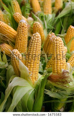 Freshly harvested corn, close up ready for sale - stock photo
