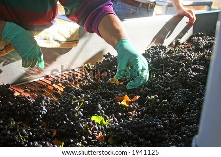 Freshly harvested grapes being sorted on their way to be crushed