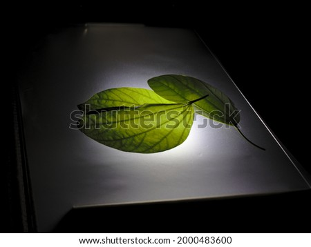 freshly harvested leaves from the tree known as pata de vaca (Bauhinia forficata), arranged on a backlit surface in a dark environment. Foto stock ©