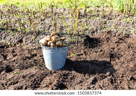 Freshly harvested organic potatoes in metal bucket at the vegetable garden. Potato harvest on the field