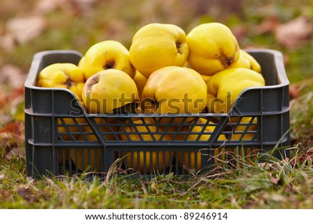 Freshly harvested quinces in a crate on the grass