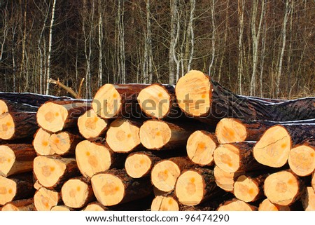 Freshly harvested Scots Pine (Pinus sylvestris) logs on a stack. Environmental background.