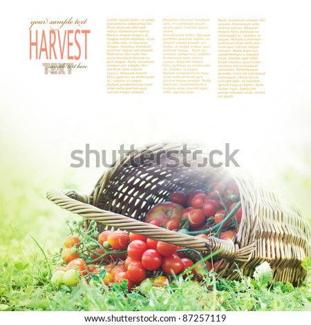 Freshly harvested tomatoes Large basket full of cherry tomatoes  lying in the summer grass.