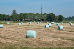Freshly mown grassland with hay bales in plastic, farm with cows in the background. Dutch picture with a blue sky. Dutch farmers race against the rain to hay, mow, rake and silage. Lelystad, June 2021