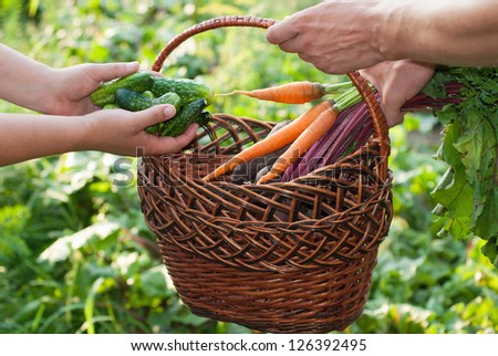 Freshly Picked Beetroot, cucumbers and Carrots. - stock photo