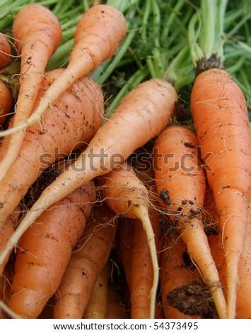 Freshly picked carrots