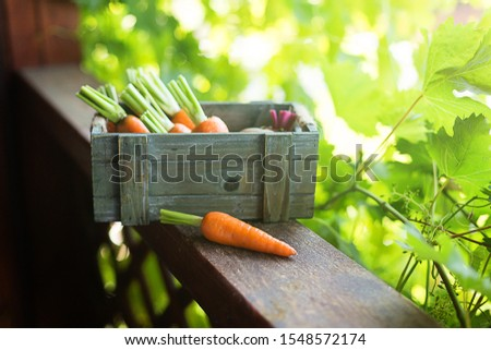 Freshly picked carrots and beets in a wooden box. Freshly picked carrots and beets in a wooden box. Summer composition for your mockup and project.