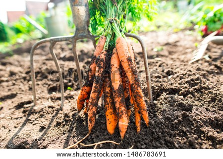Freshly picked carrots from the ground. Carrots leaning on a pitchfork. Gardening in the village. #1486783691