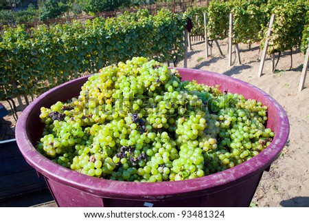 Freshly picked grapes in a bucket