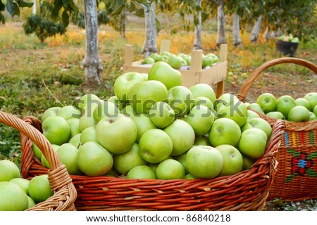 """Freshly picked green """"Granny Smith"""" apples in baskets"""