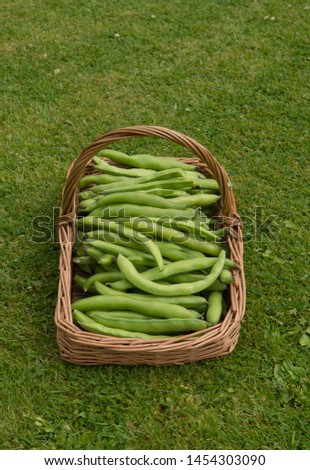 Freshly Picked Home Grown Organic Broad Beans (Vicia faba) from an Allotment in a Vegetable Garden in a Hand Made Willow Basket on a Background of Green Grass in Rural Devon, England, UK