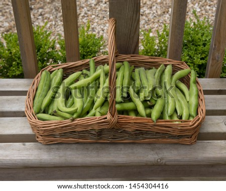 Freshly Picked Home Grown Organic Broad Beans (Vicia faba) from an Allotment in a Vegetable Garden in a Hand Made Willow Basket on a Wooden Bench in Rural Devon, England, UK