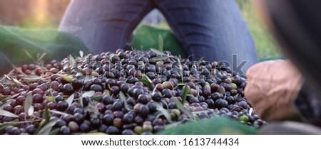 Freshly picked olives in tuscany