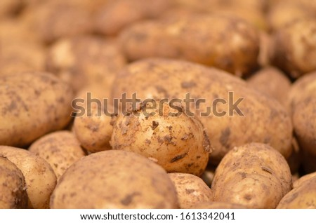 Freshly picked potatoes from the field