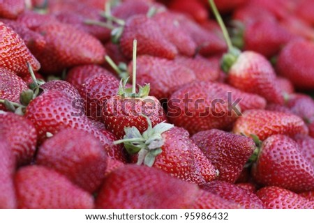 Freshly picked strawberries focus on one standing up straight.