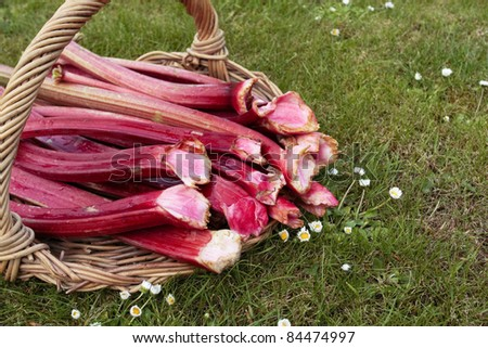 Freshly picked up rhubarb on willow basket