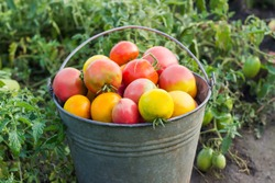 Freshly picked varicolored tomatoes in old iron bucket on a blurred background of the tomato plantation
