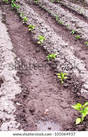 Freshly planted pepper seedling