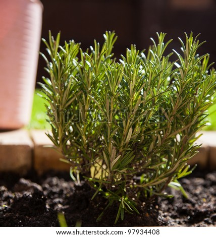 Freshly planted rosemary with plantpot background,