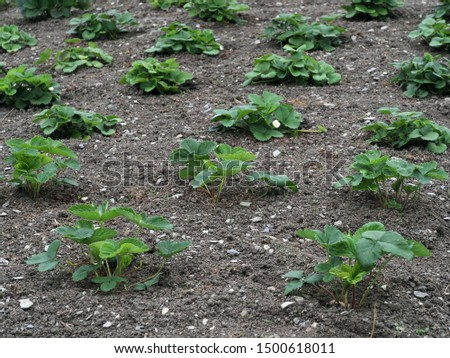 Freshly planted strawberry plants in the garden