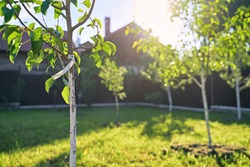 Freshly planted young pear and apple trees in spring or summer orchard or garden with beautiful sunlight