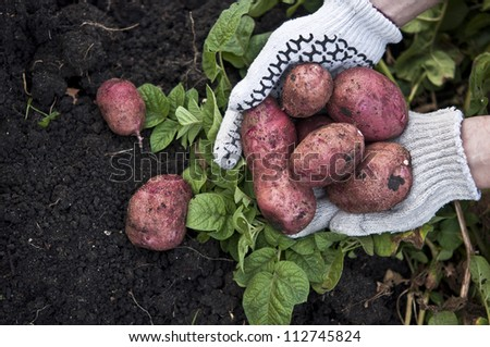 freshly red potatoes in the hands