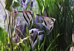 freshwater angelfish are swimming in aquatic plants tank. Pterophyllum scalare is one of the most popular aquarium fish in freshwater aquarium.